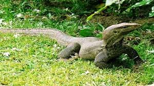 Get to Know Komodo Dragon More Closely on The Flores Island